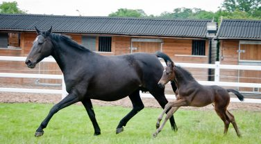 Black Horse running with Foal