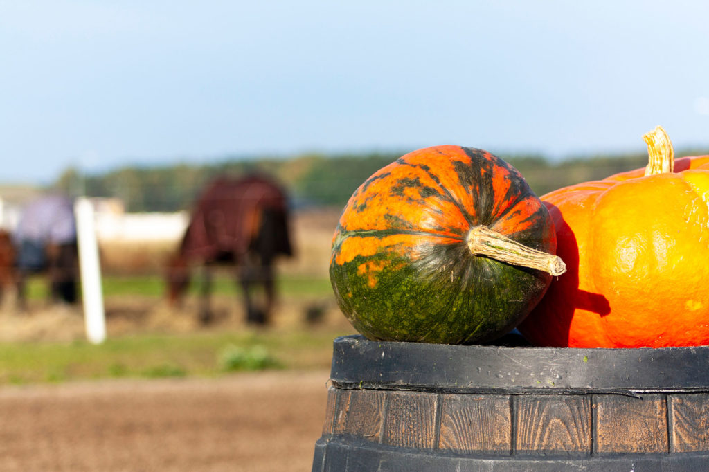 pumpkin in field of horses